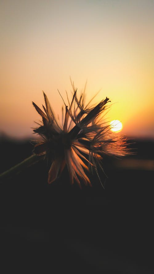 Free stock photo of beautiful flowers, dandelion, evening sun, flower
