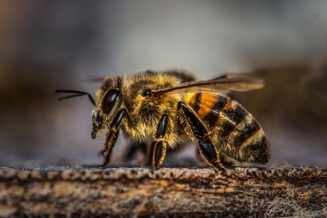 Honey Bee on Wood