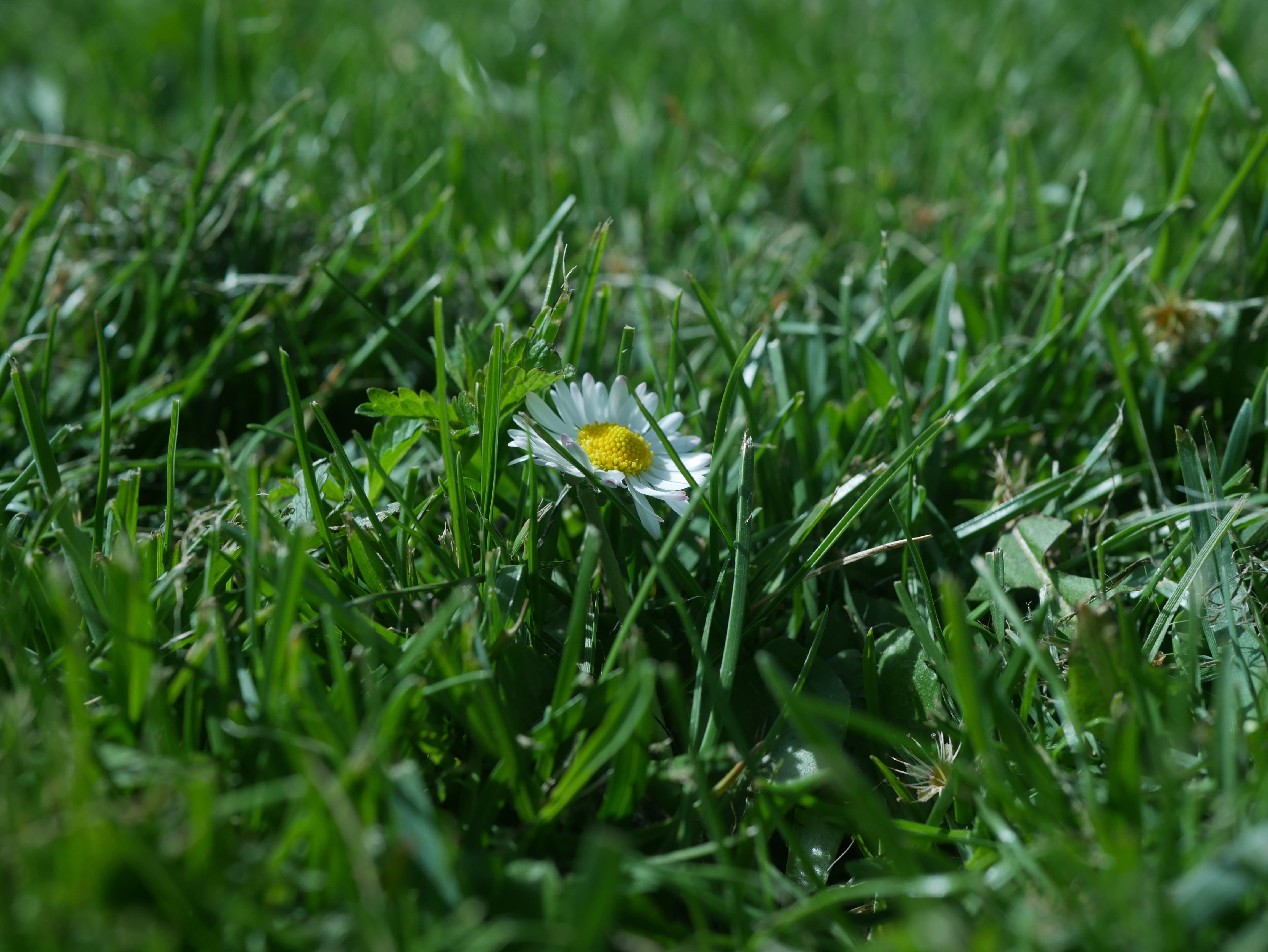 Free stock photo of background, flower, grass, spring
