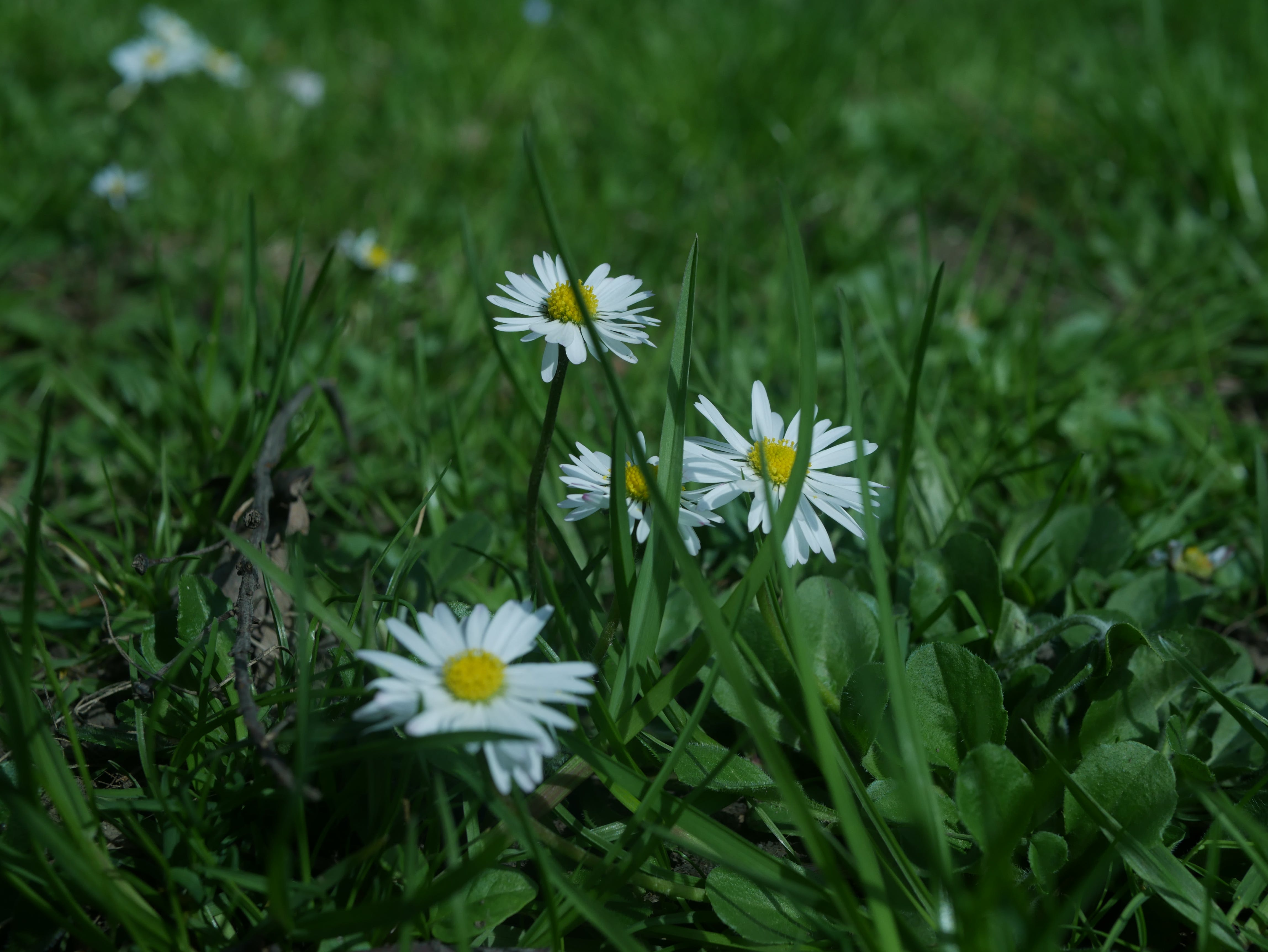 Free stock photo of flower, spring