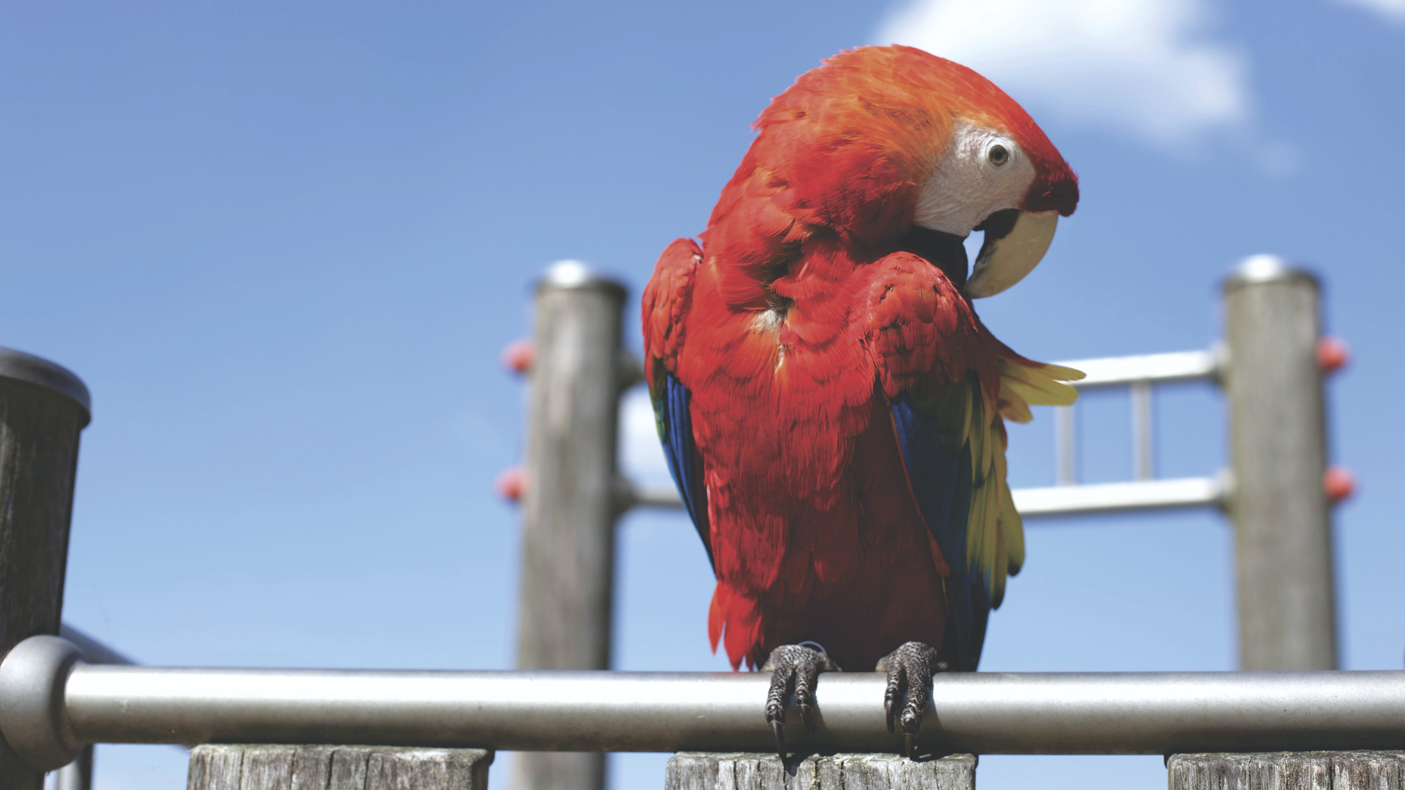 Red Parrot on Bar on Sunny Cloudless Day