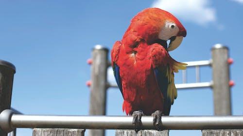Foto stok gratis bertengger, binatang, burung beo, penuh warna