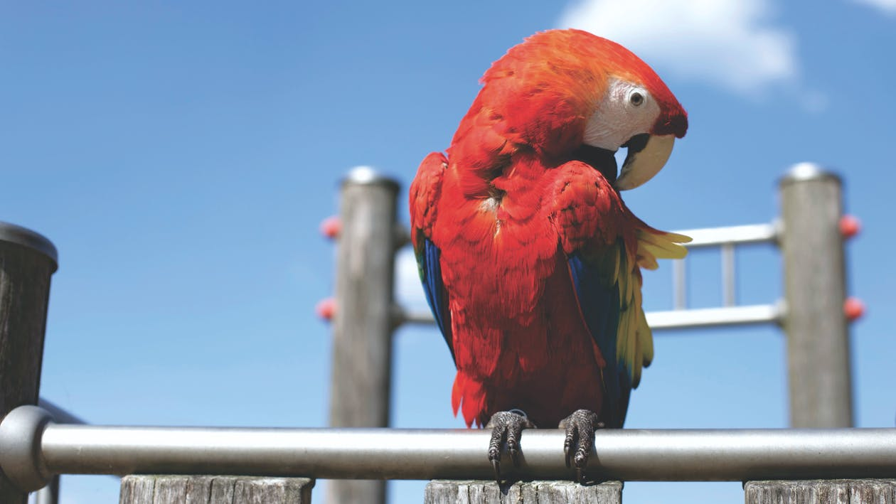 kolorowy, papuga, ptak