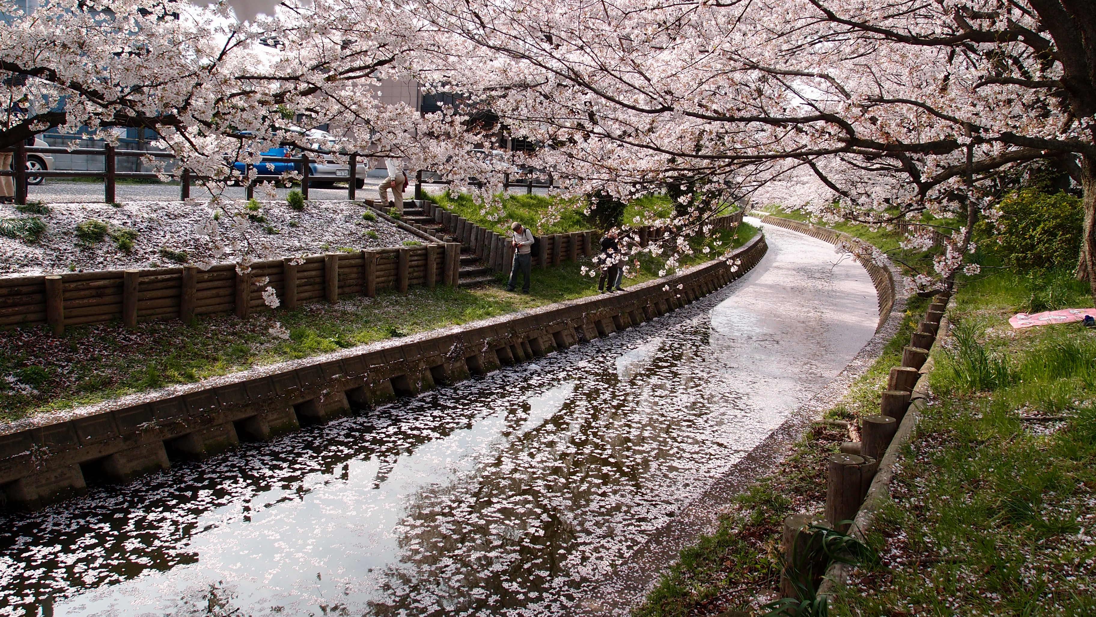 Gratis lagerfoto af blomster, flora, kirsebærblomster, natur