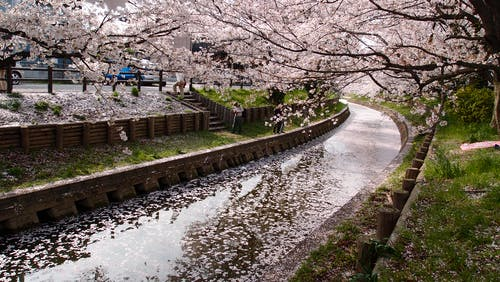 Drainage Between Cherry Blossom Tree during Daytime