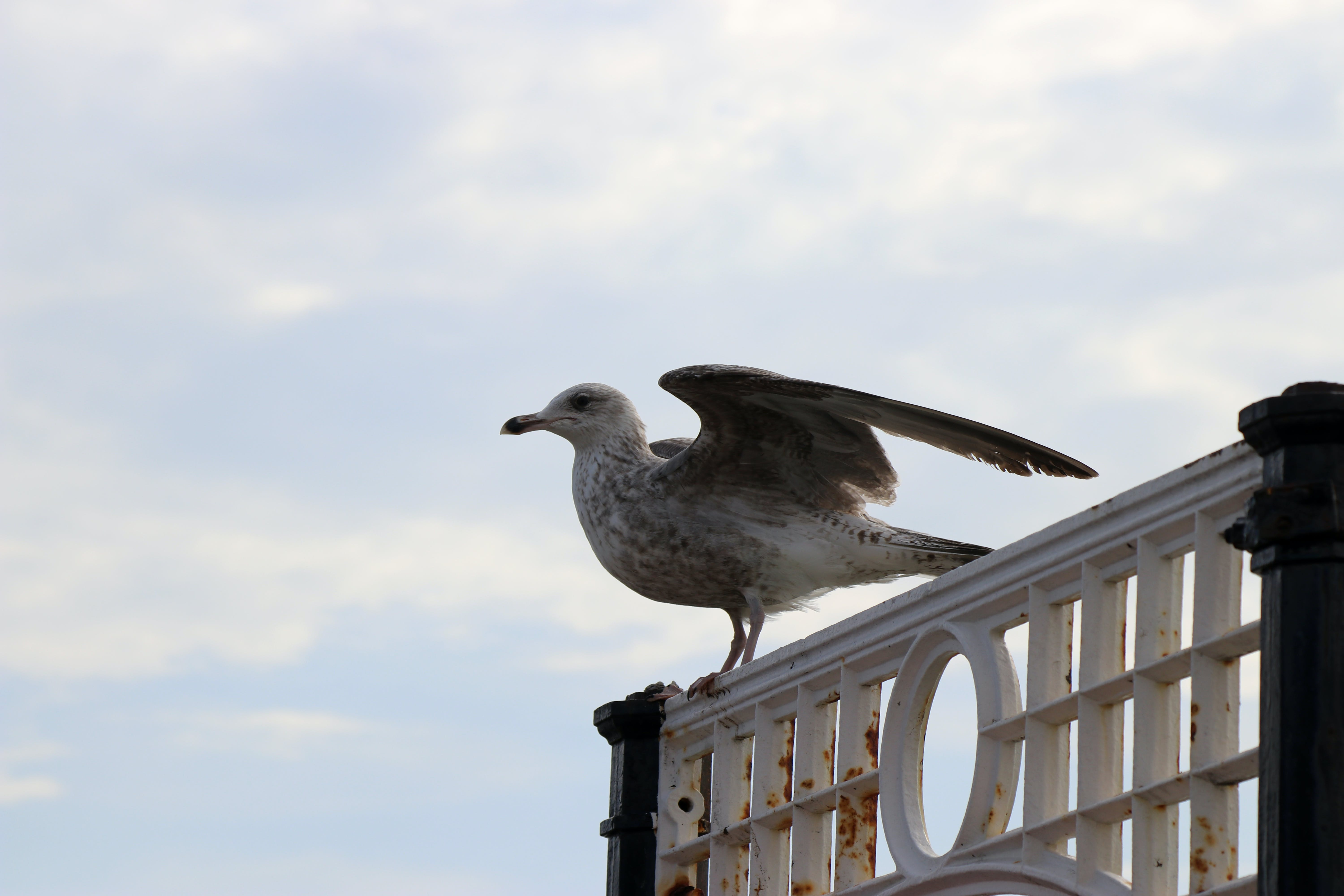 Free stock photo of sky, pier, seagull, fly