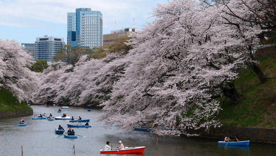 boat, cherry blossom, park