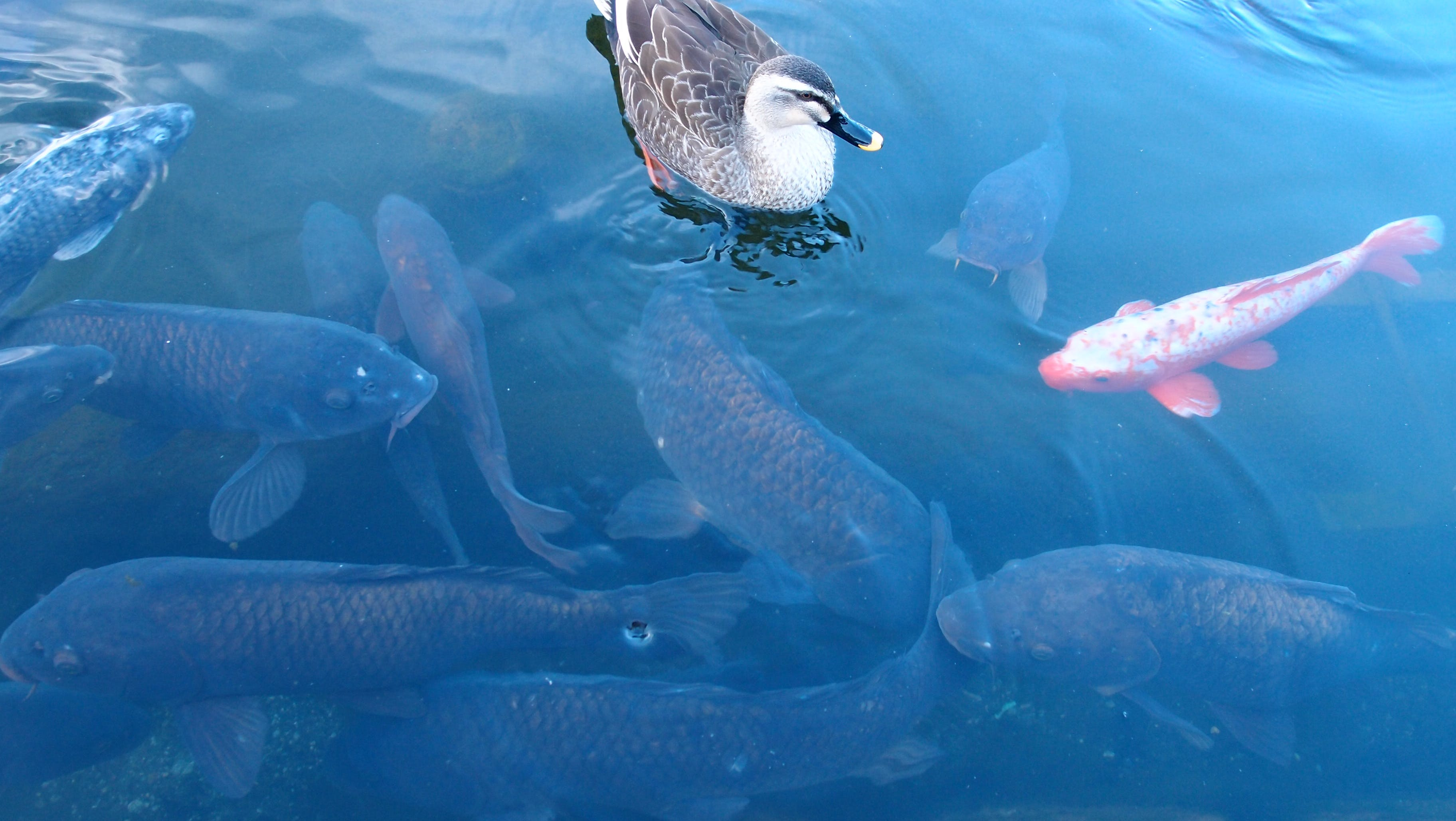 Free stock photo of animal, animals, blue, duck