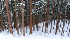 snow, forest, trees