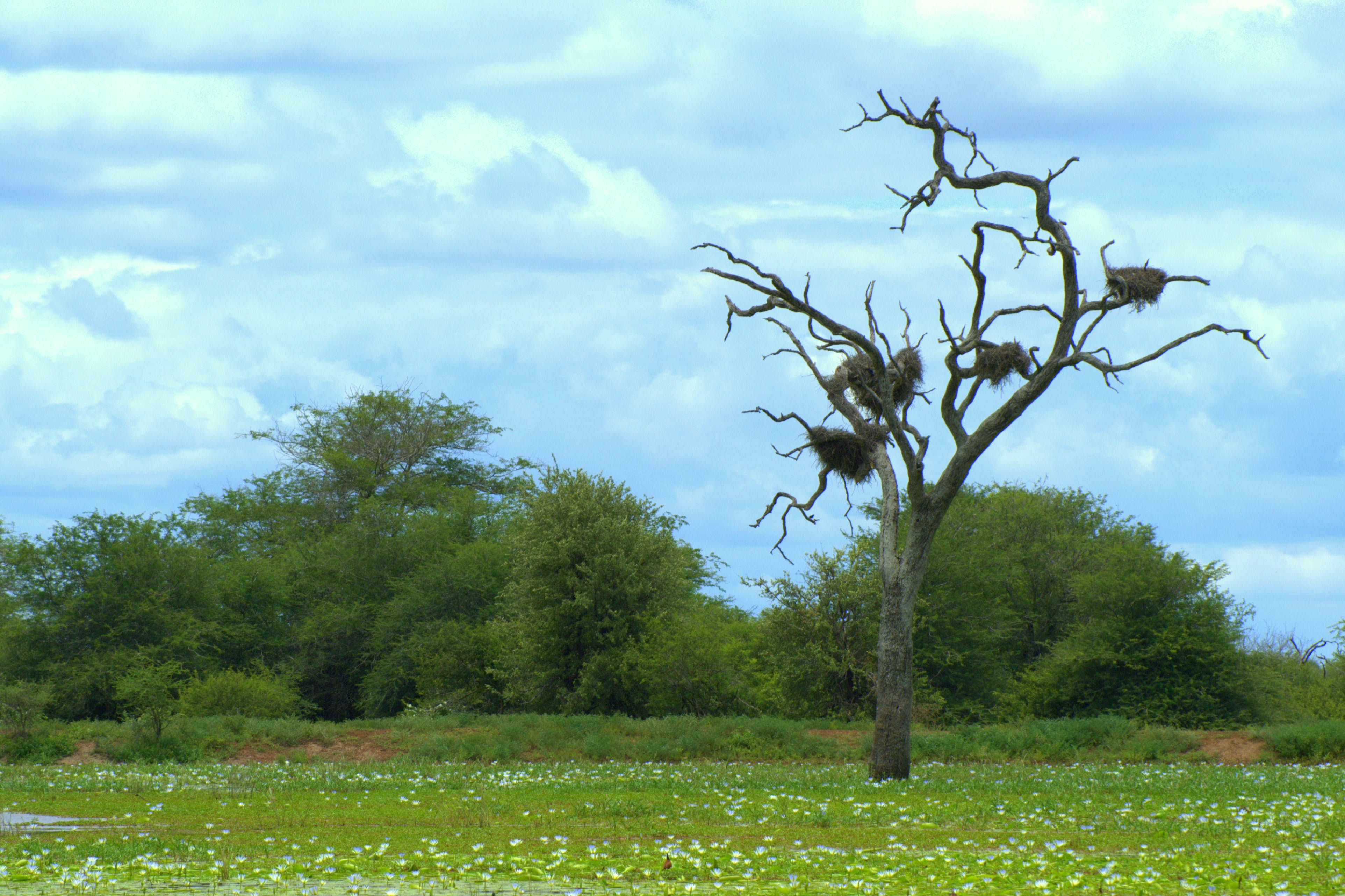 Free stock photo of big tree, nesting, south africa