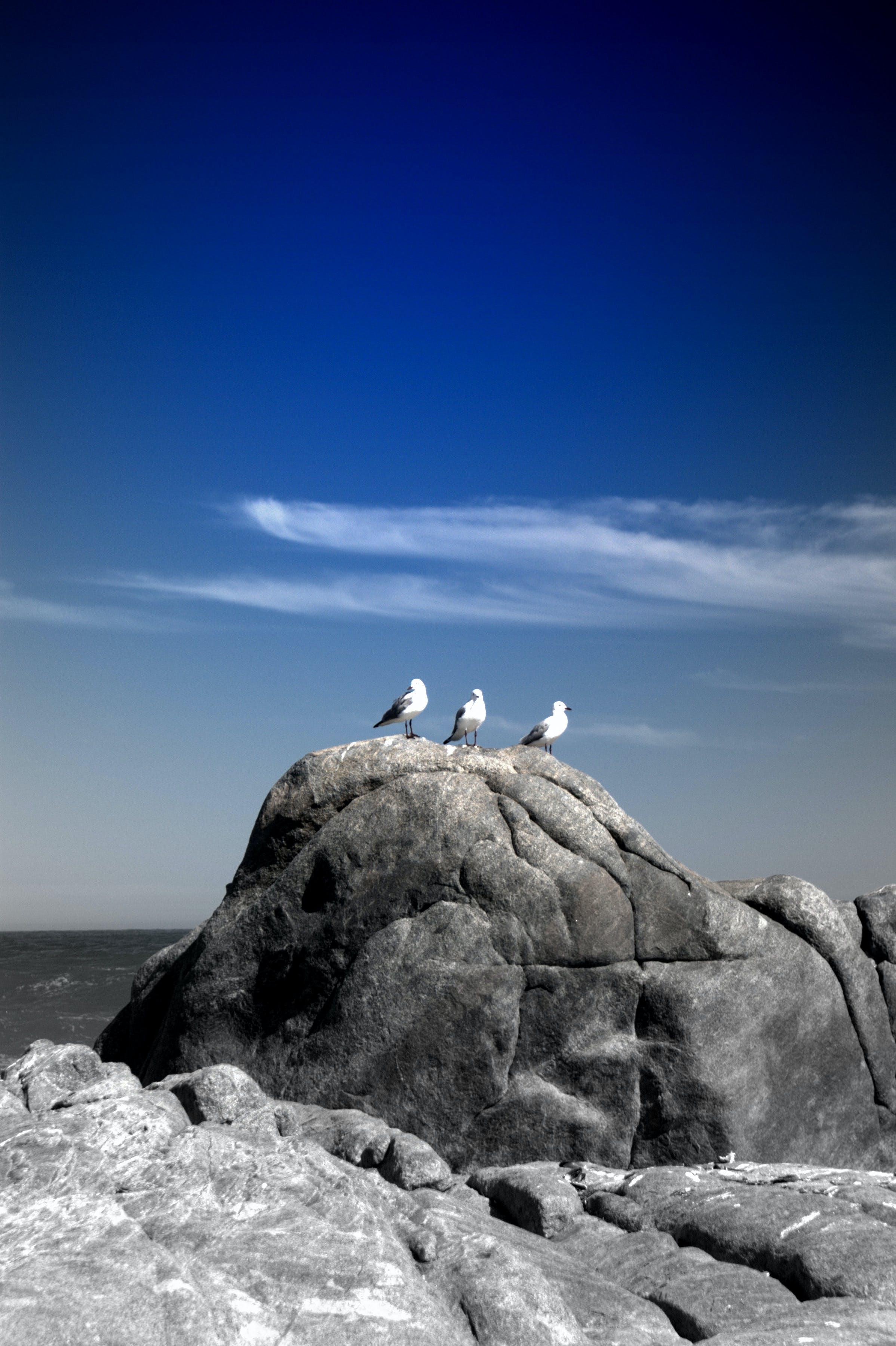 Three White Birds on Rock