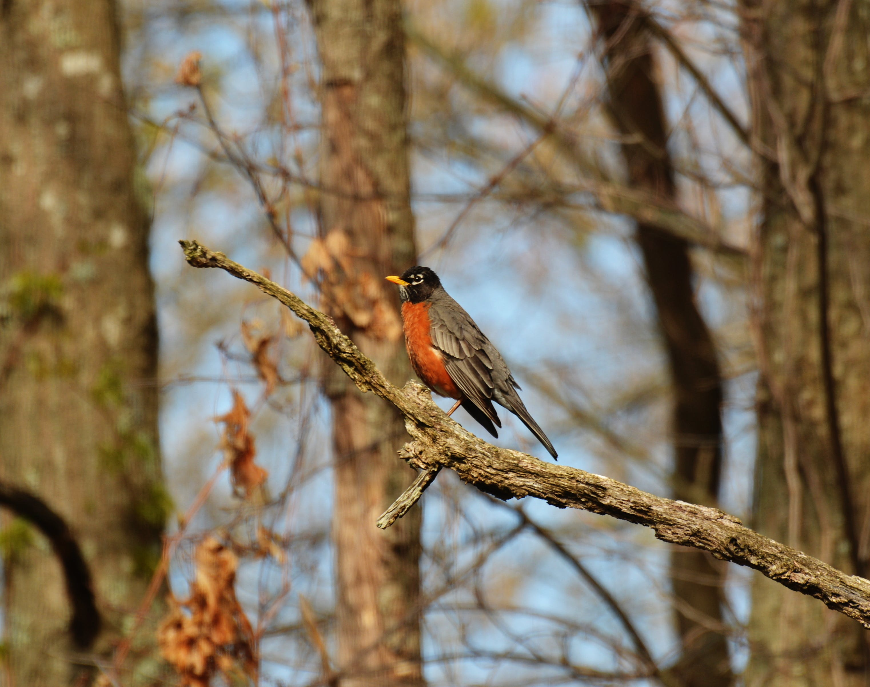 Gray Orange and Black Bird on Brown Tree Branch