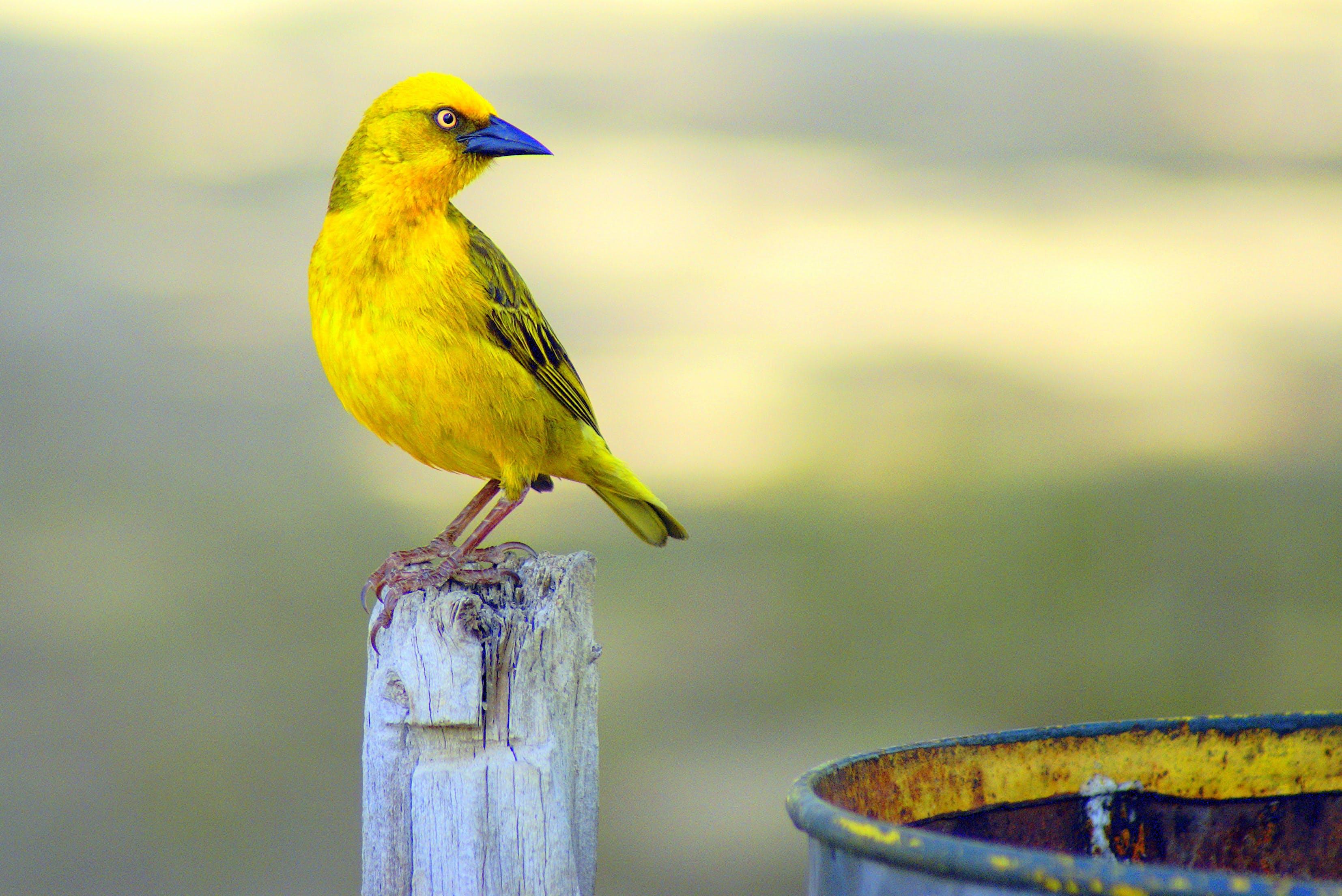 Focal Focus Photography of Perching Yellow and Blue Short-beak Bird