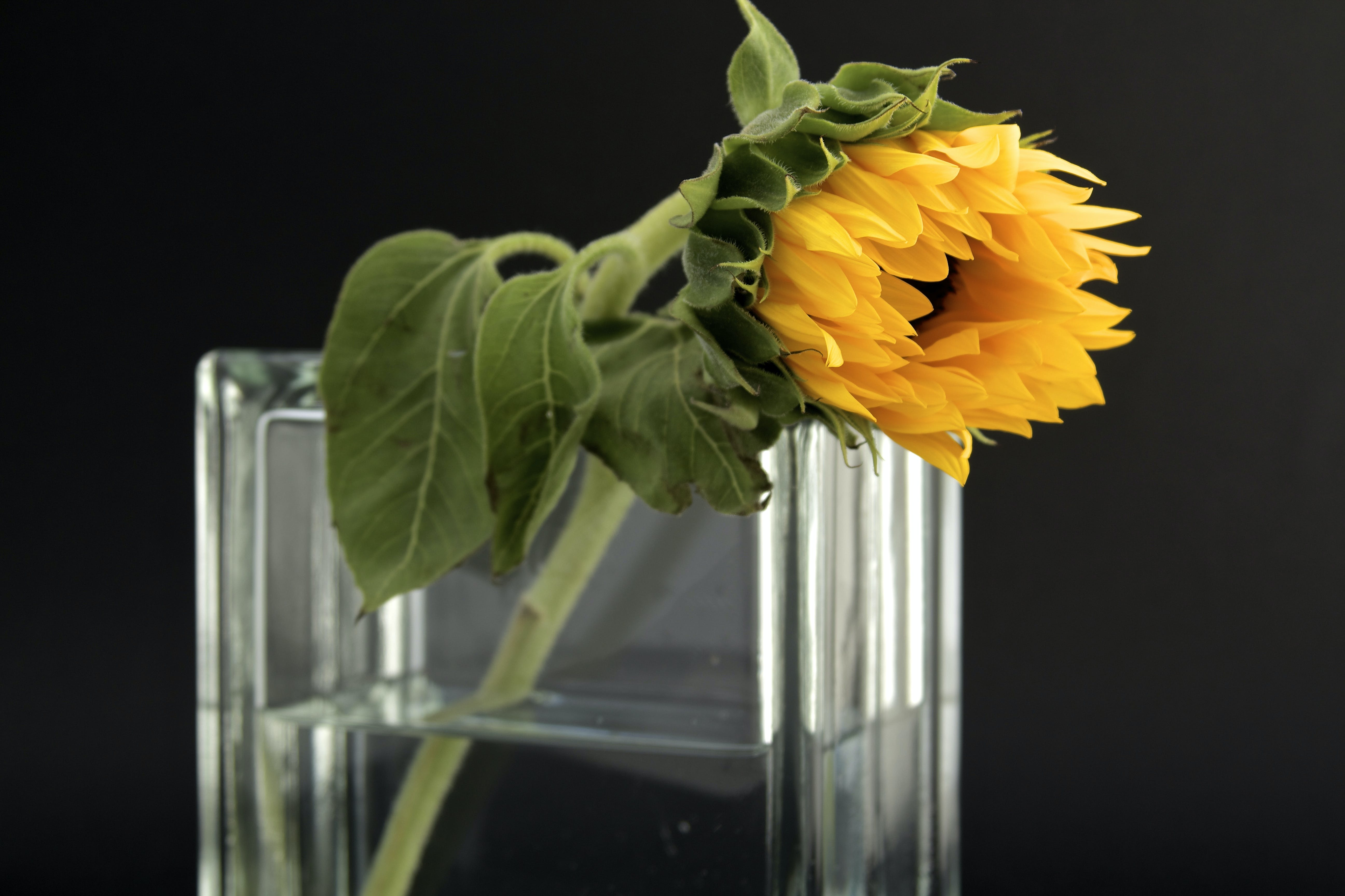 Sunflower in Clear Glass Vase With Water
