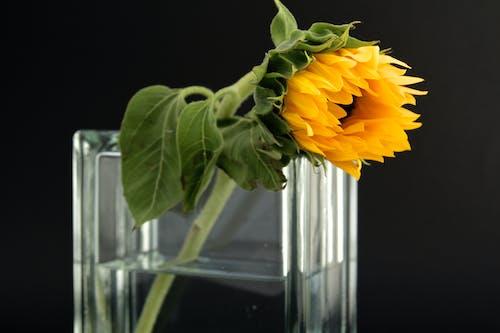 Gratis lagerfoto af blomst, close-up, flora, springe ud