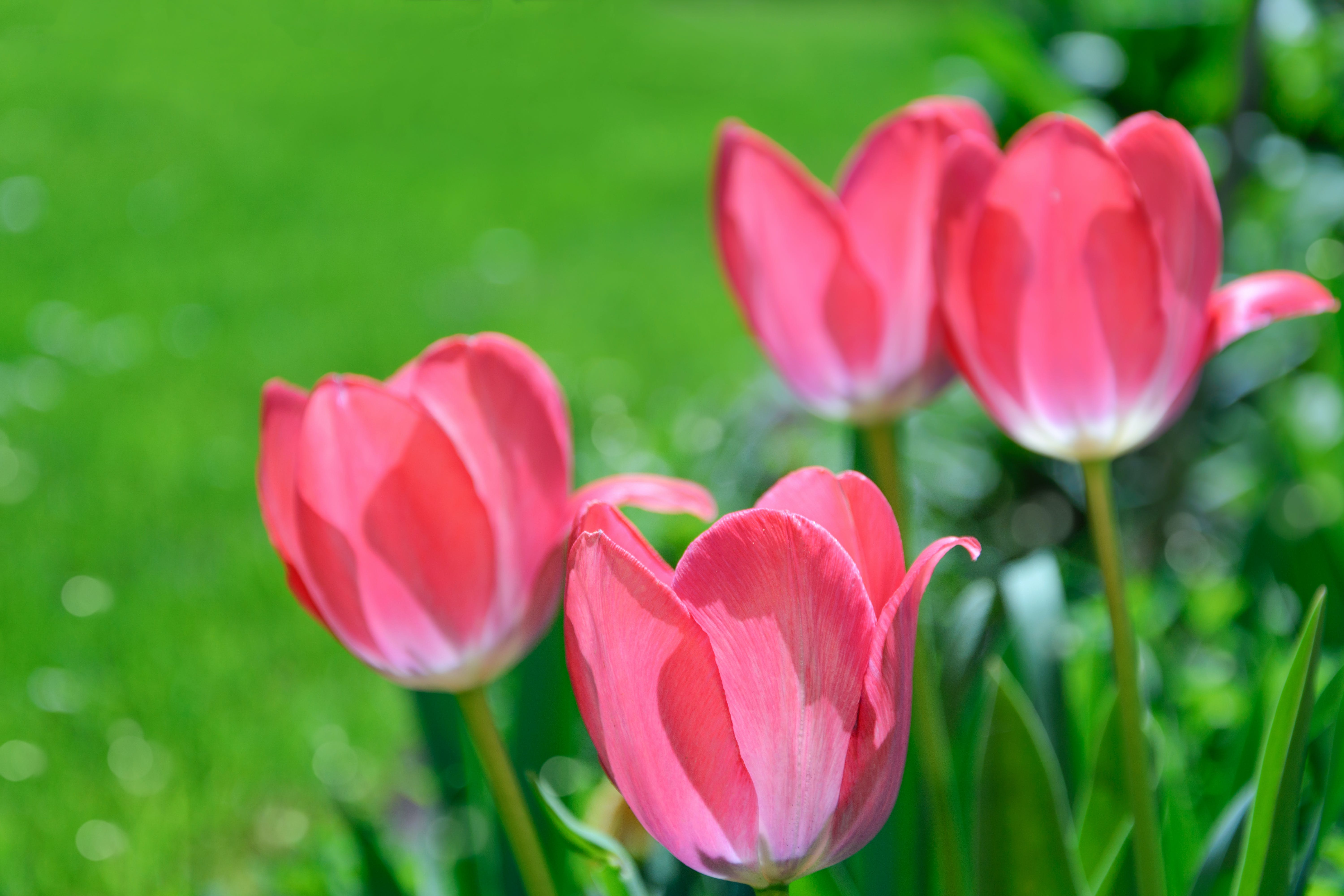 Focus Photography Pink Tulips