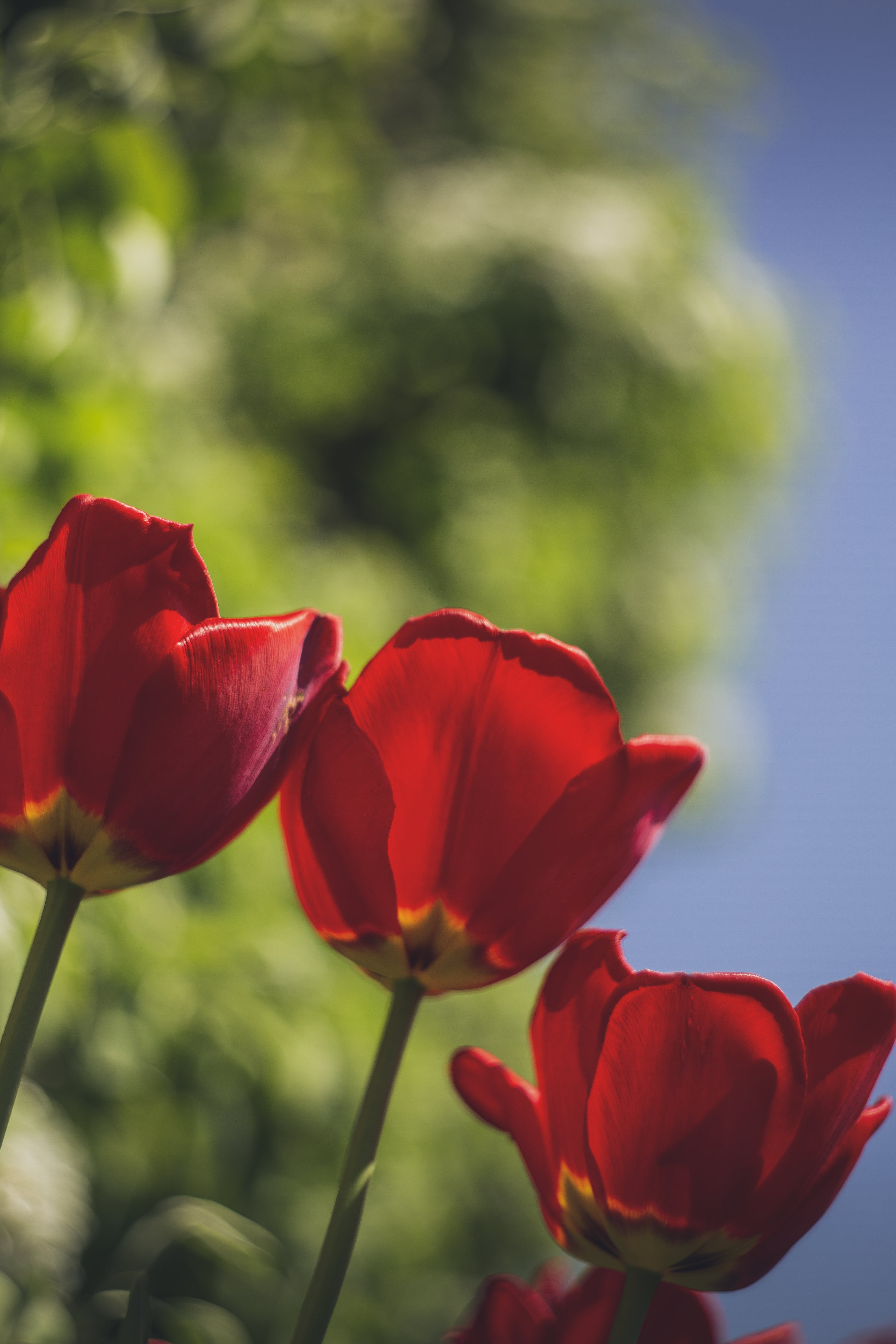 Selective Focus Photo of Three Red Rose Flowers