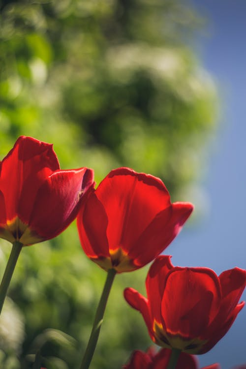 Red Tulips in Bloom