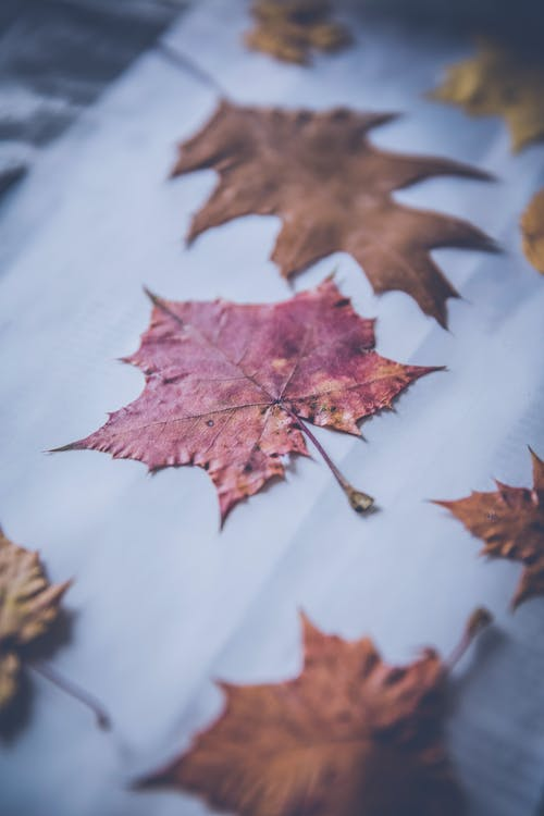 Free stock photo of dried leaves, leaves, maple leaves