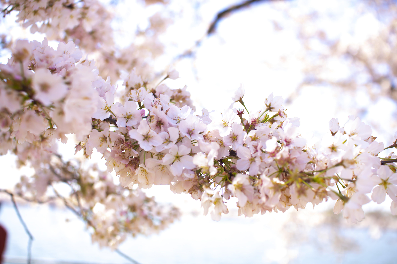 Closeup Photo of Apple Blossom Flowers