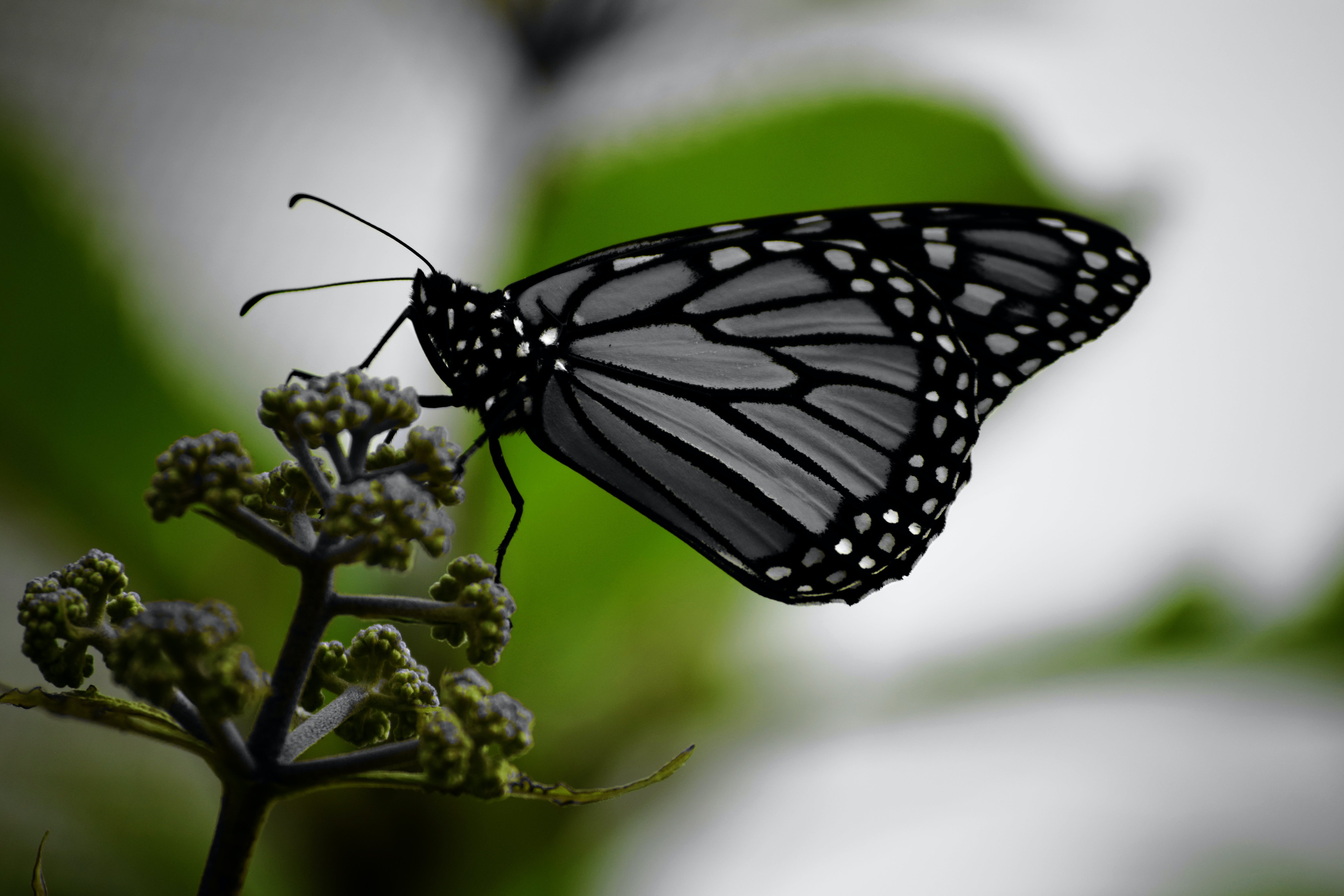 White and Black Monarch Butterfly on Green Plant
