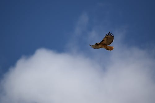 曇り空, 鷹の無料の写真素材