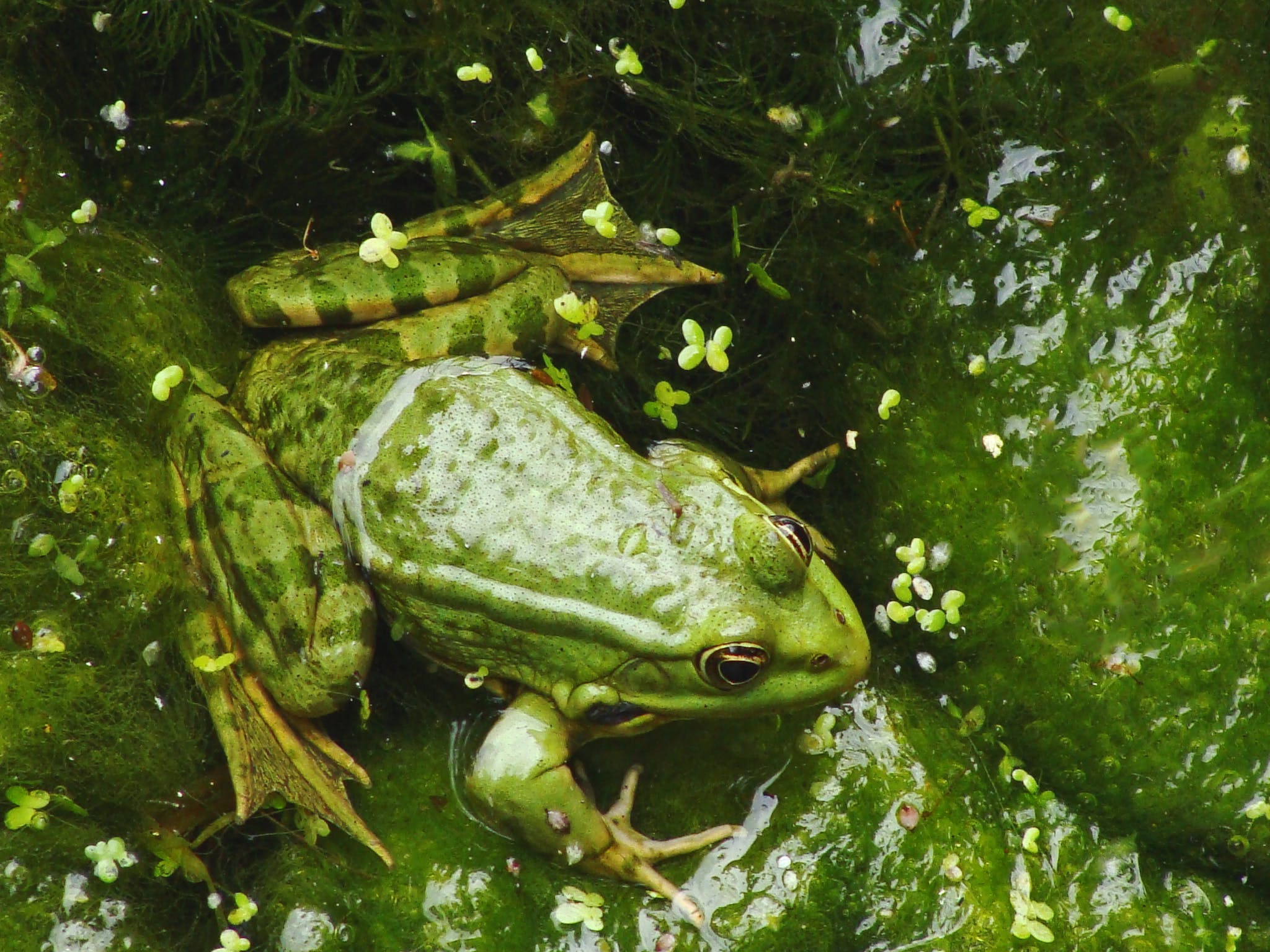 Kostenloses Stock Foto zu amphibie, frosch, grün, nahansicht