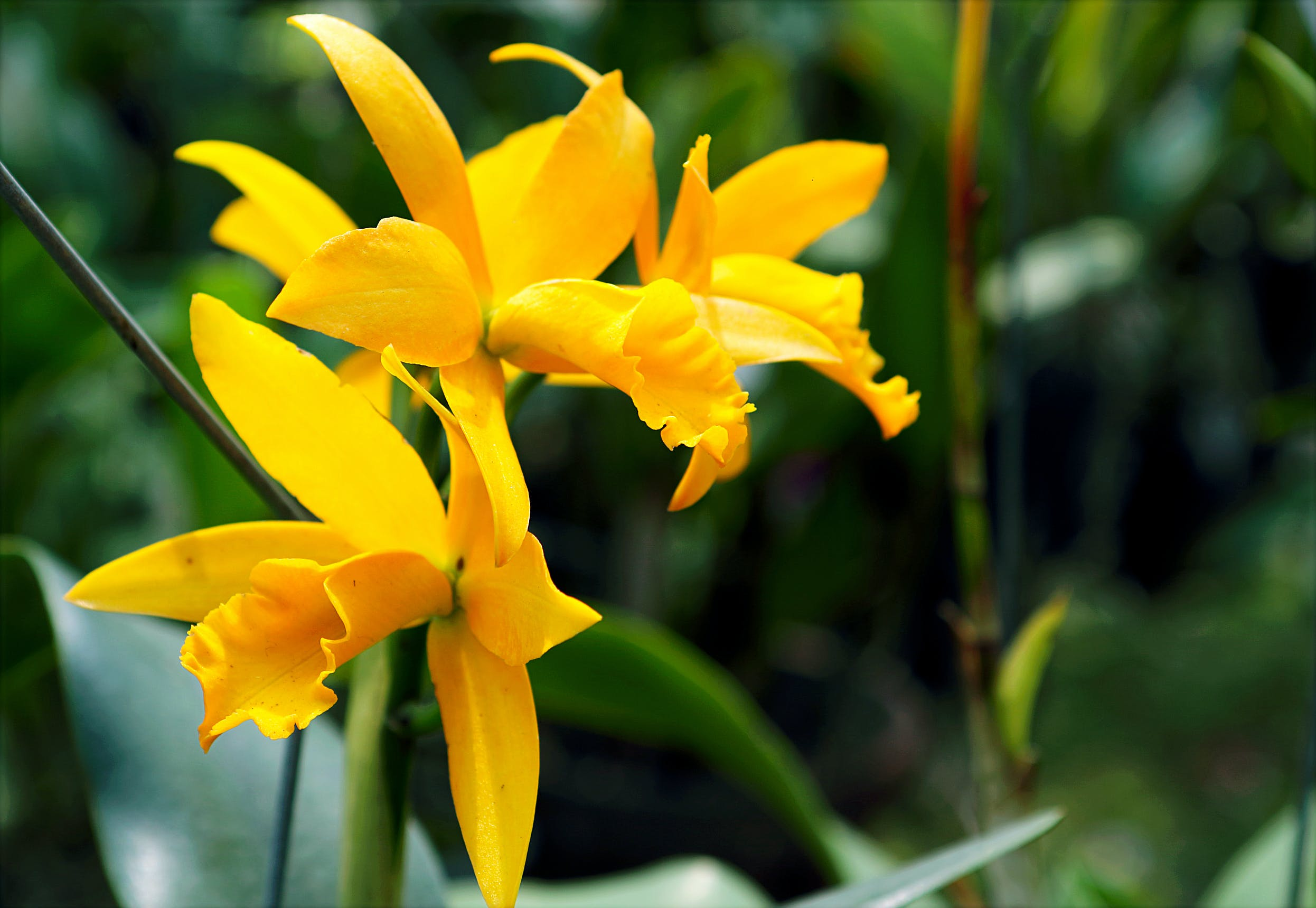 Yellow Orchids in Closeup Photo