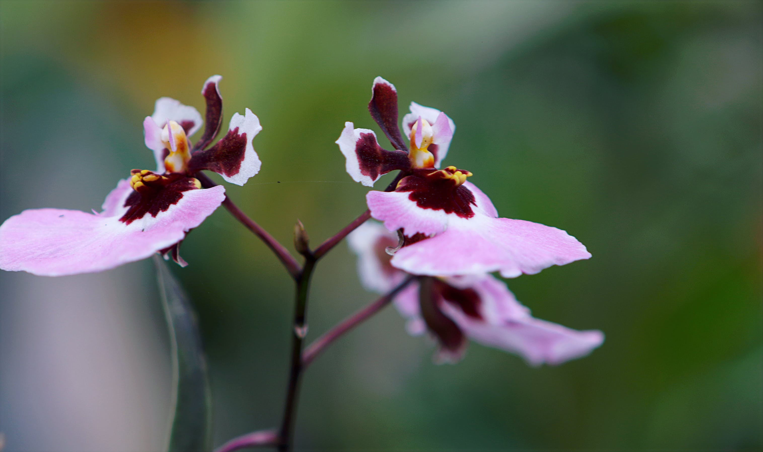 Purple-and-pink Moth Orchids Closeup Photo