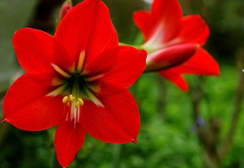 Бесплатное стоковое фото с красивый, красный, лепестки, на открытом воздухе