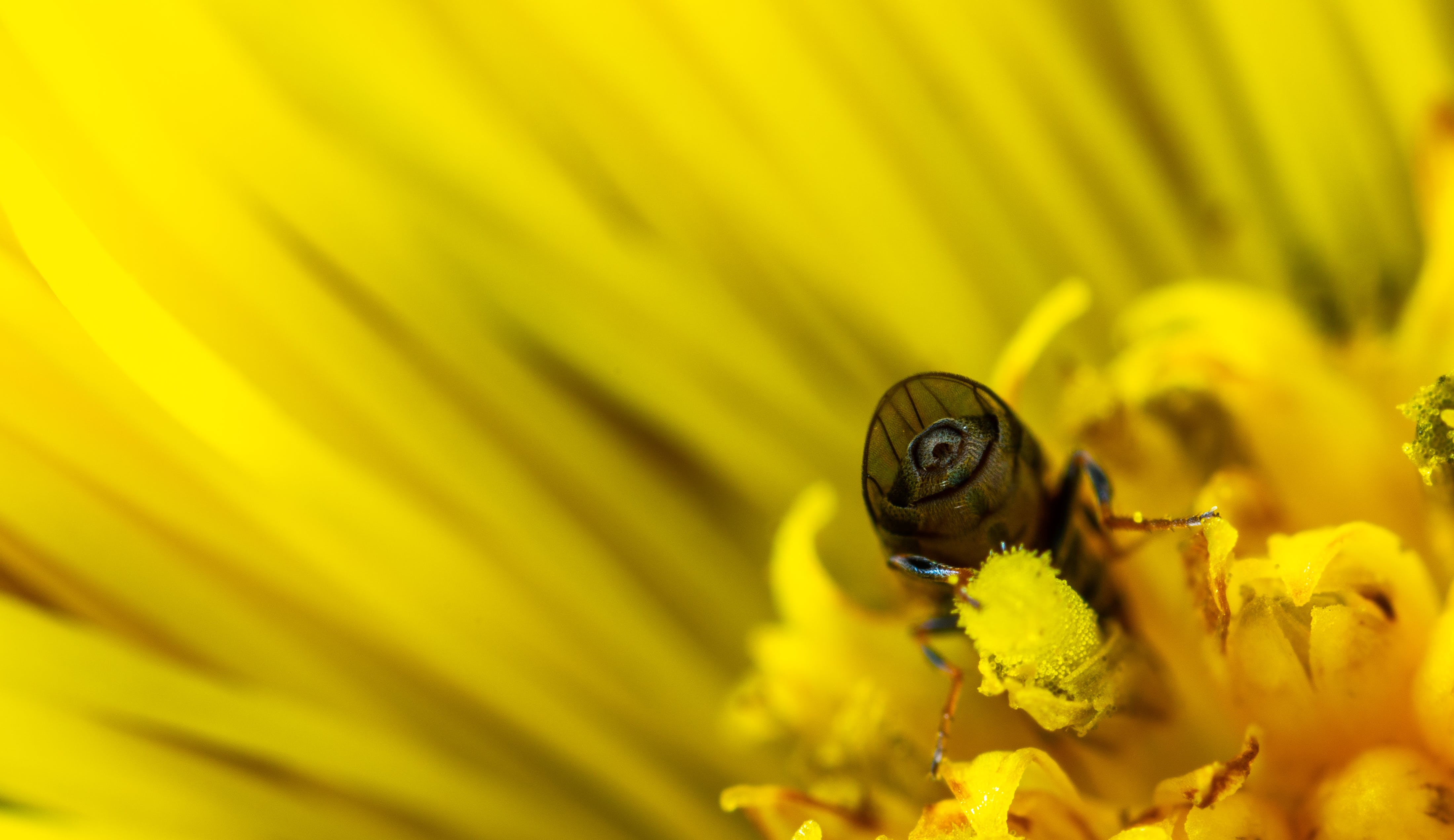 Macro Photo of Bee on Yellow Daisy