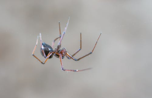 Closeup Photography of Black and Brown Spider