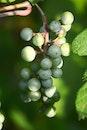 food, healthy, grapes