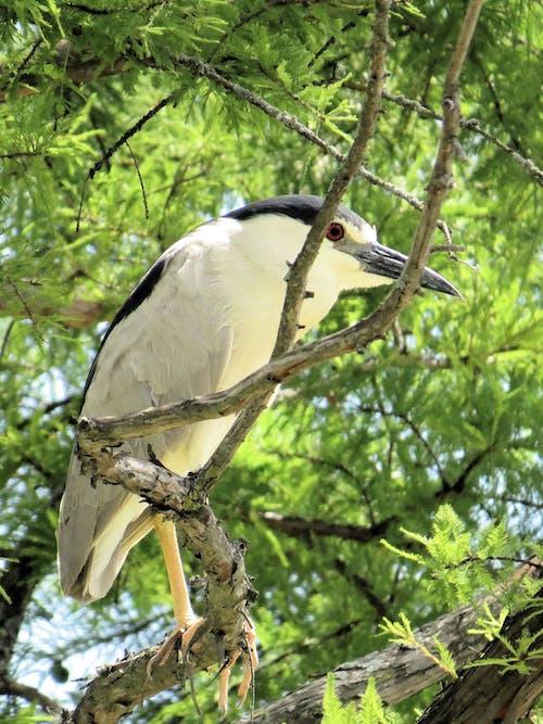 Fotos de stock gratuitas de aves zancudas, garza, garza nocturna