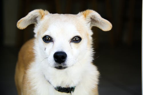 Adult White and Tan Chihuahua
