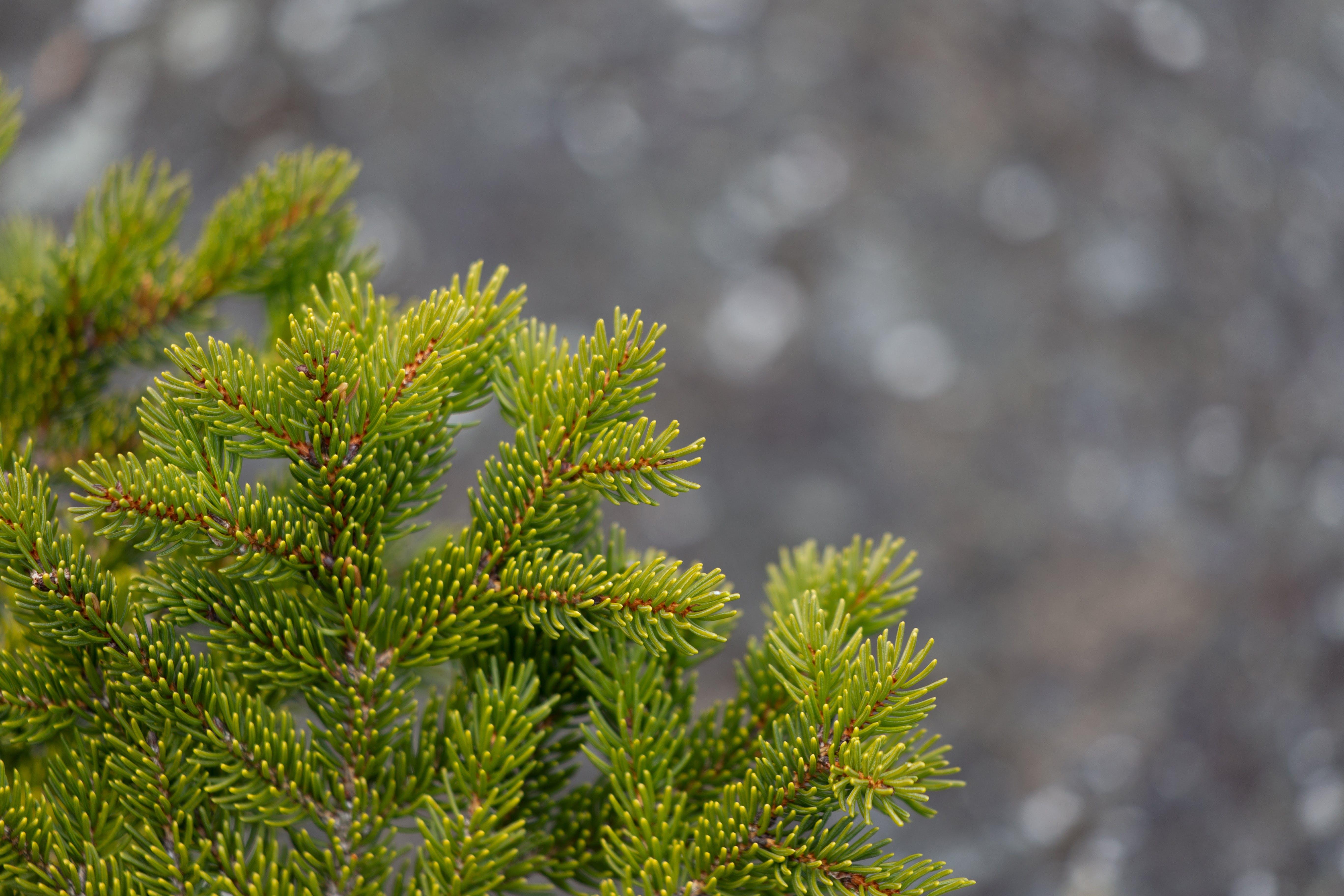 Green Lead Tree