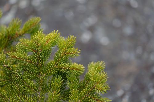 Photos gratuites de à feuilles persistantes, arbre, arbres, bois