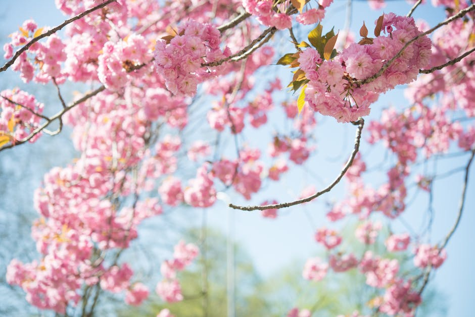 Tilt shift photography of cherry blossoms
