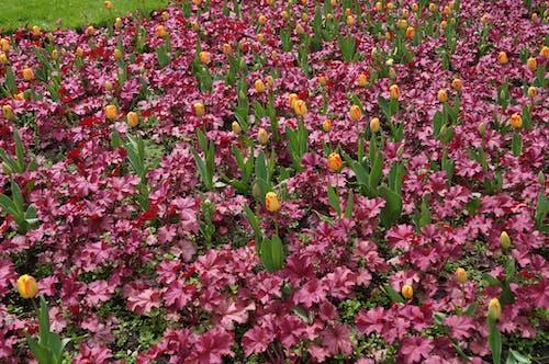 Бесплатное стоковое фото с тюльпаны