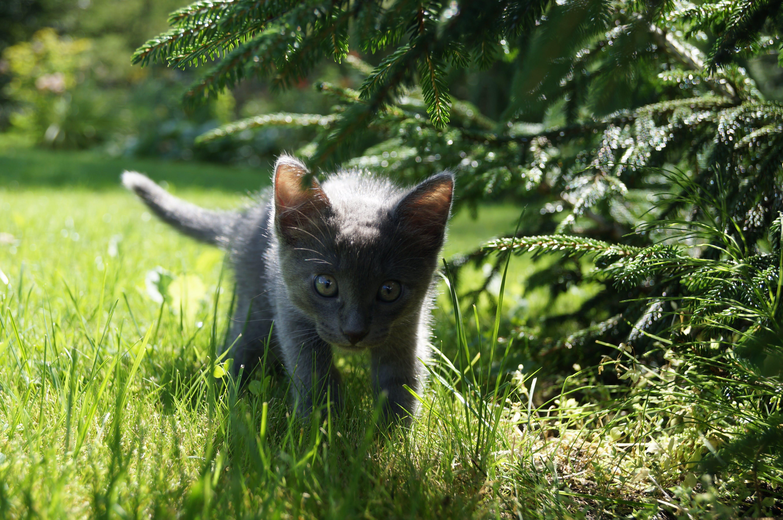 Short-fur Short Kitten