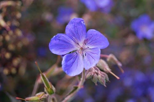 Бесплатное стоковое фото с синие цветы