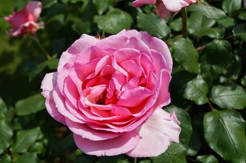 Бесплатное стоковое фото с бутон розы