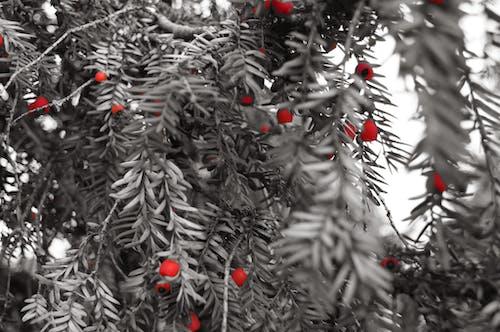 Бесплатное стоковое фото с ягоды