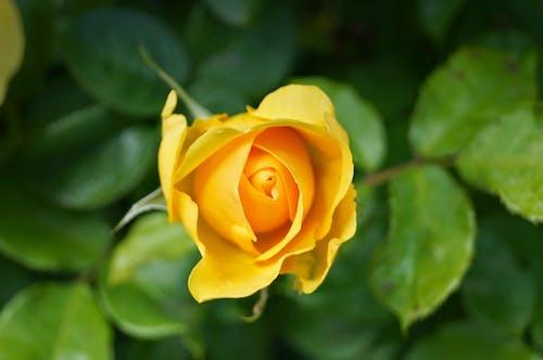 Бесплатное стоковое фото с роза