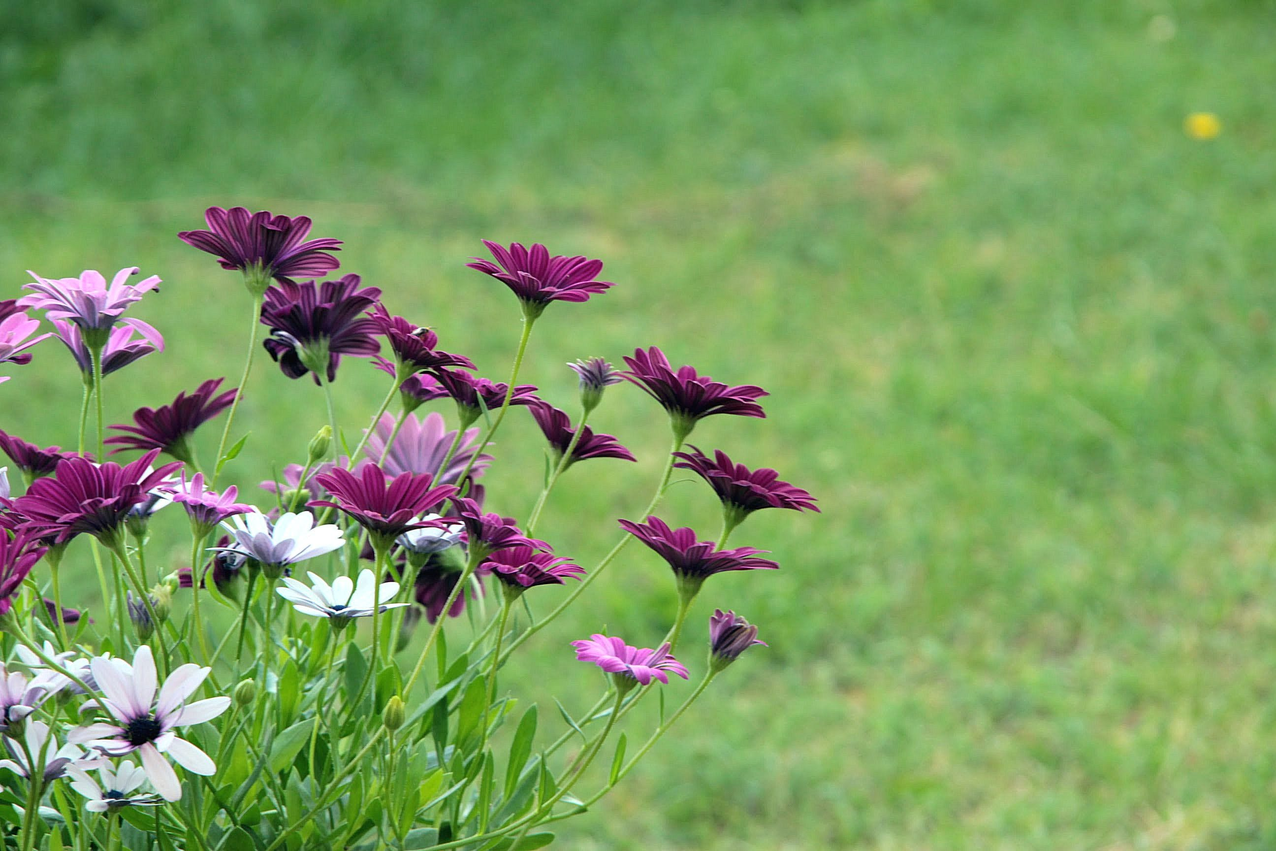 Free stock photo of carnation, carnation flower, clove, gillyflower