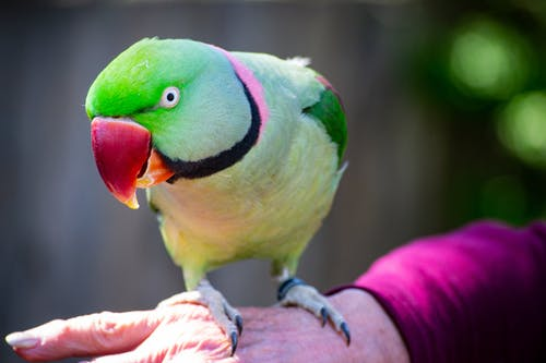 Selective Photography of Green Rose Ring Parakeet