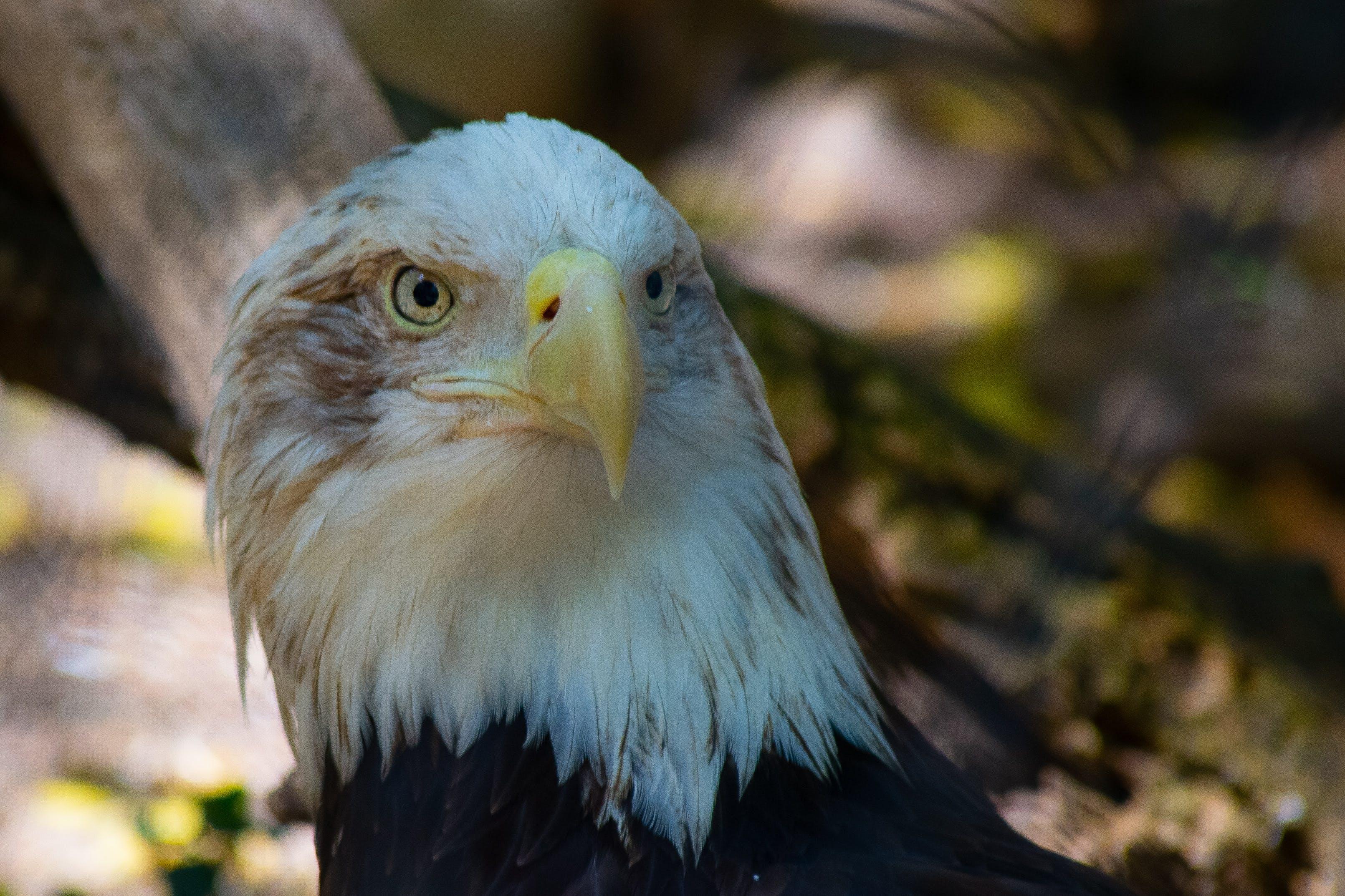Photo of White and Black Eagle