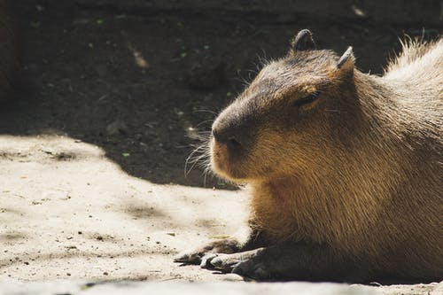Brown Capybara