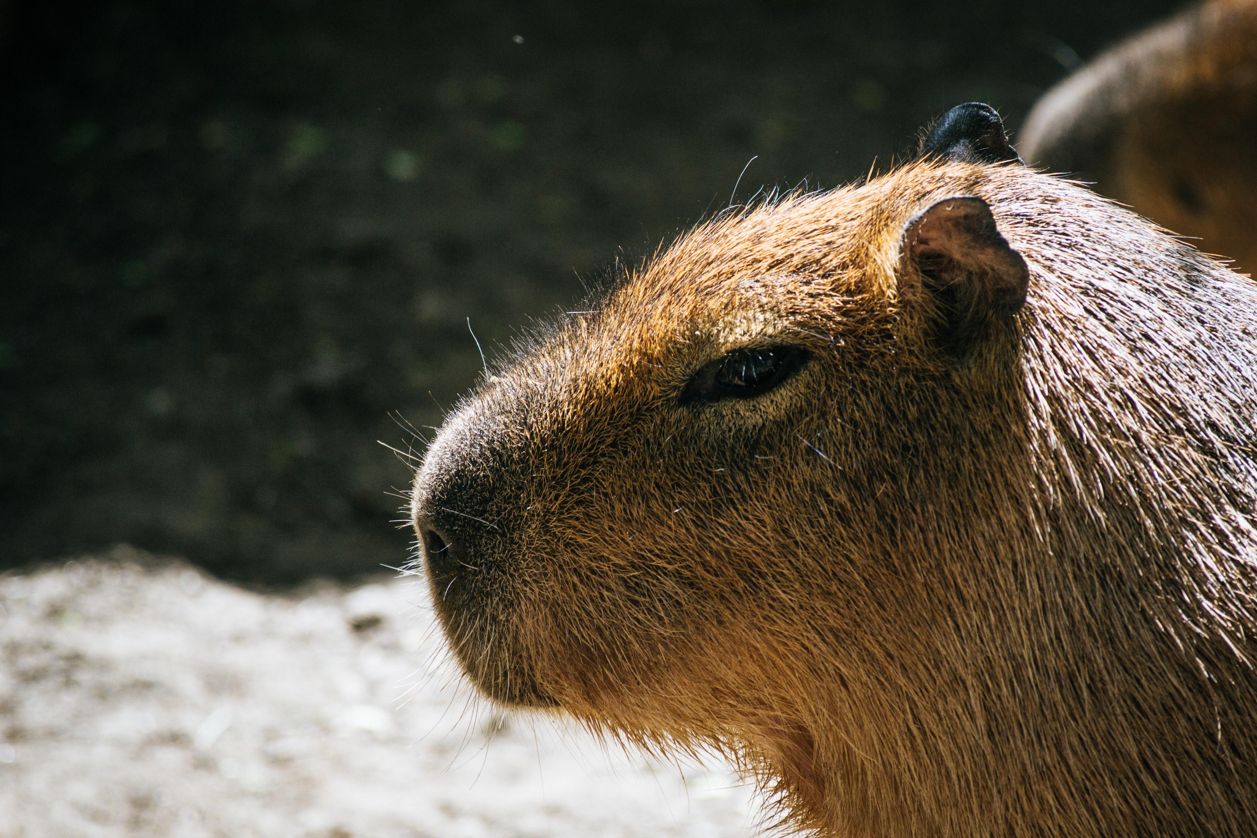 カピバラ パーク 動物の無料の写真素材