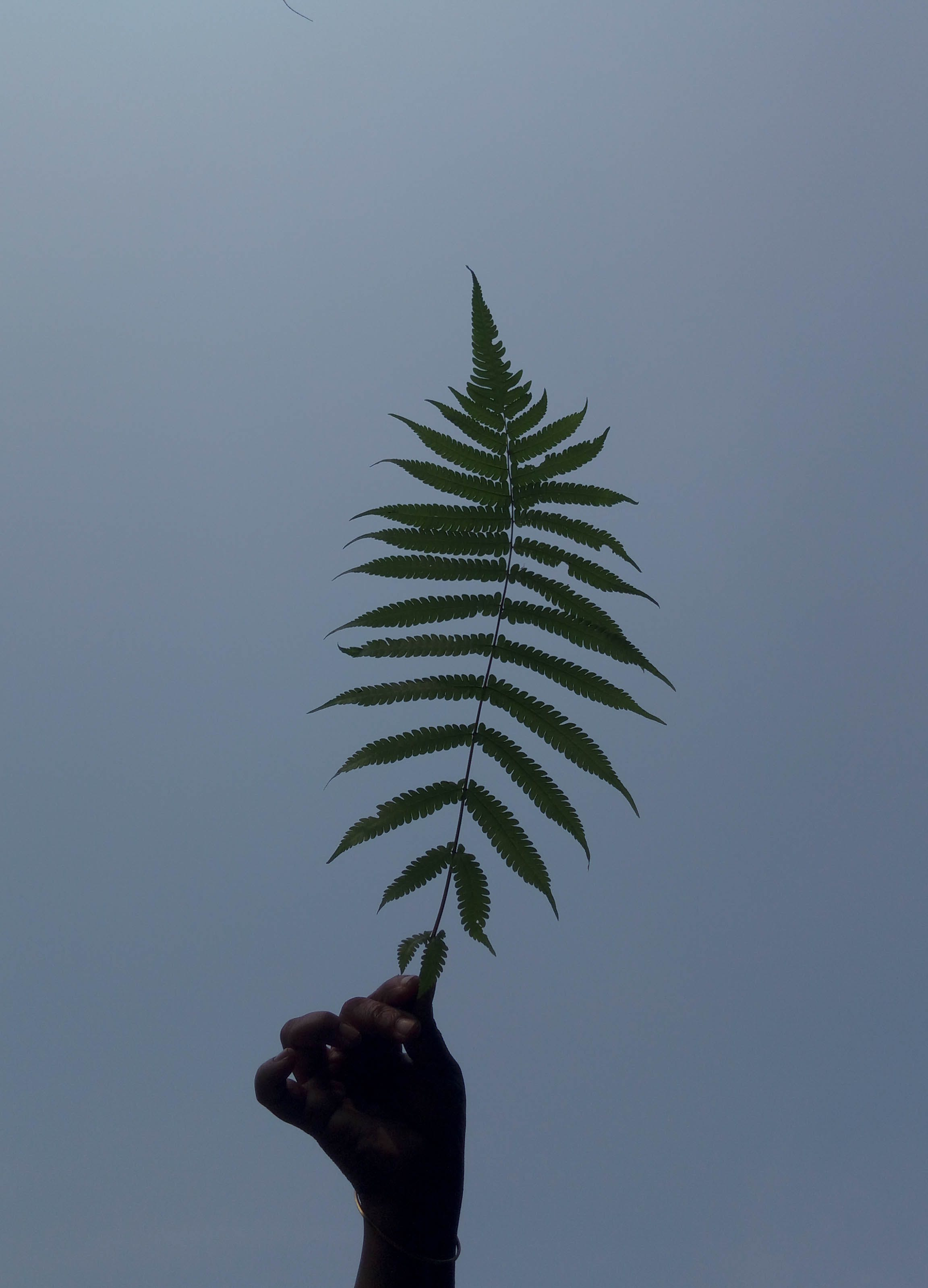 Person's Hand Holding Green Leaf Fern